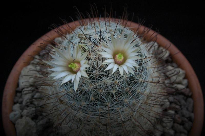 Mammillaria viridiflora 9784-211