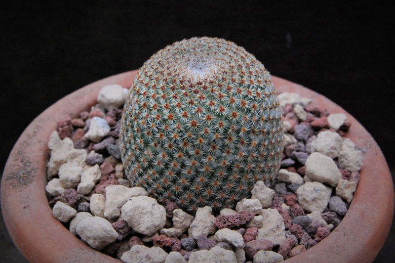 Mammillaria crucigera 9844-210