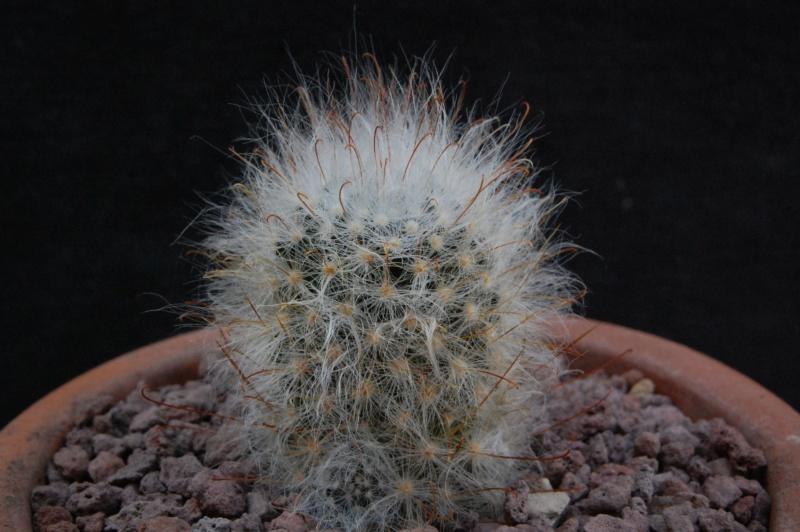 Mammillaria guelzowiana 9862-210