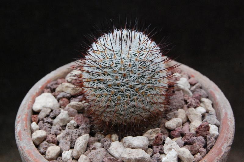 Mammillaria haageana 9871-210