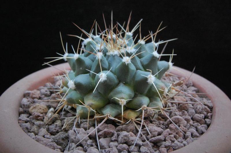 Mammillaria winterae  9893-210
