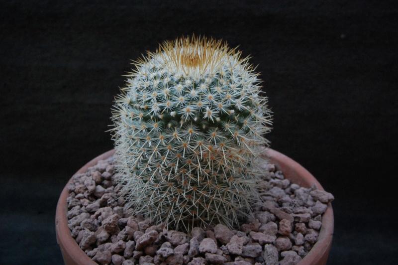Mammillaria haageana 9901-210