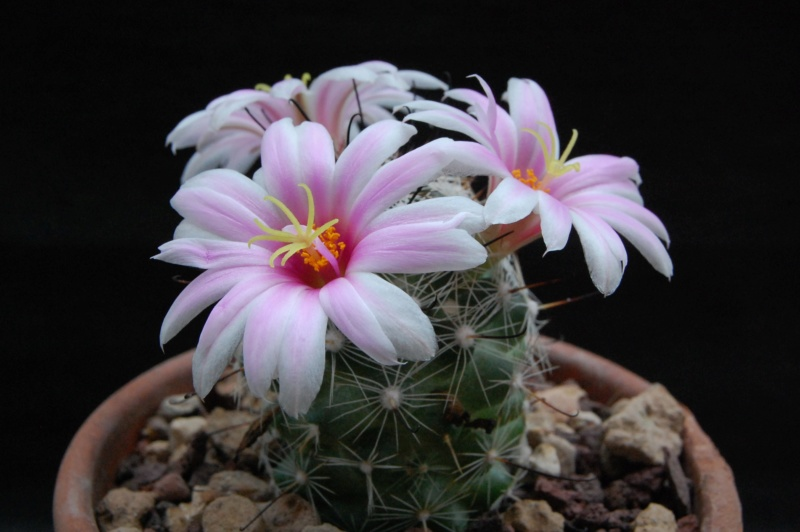 Mammillaria boolii 9914-210