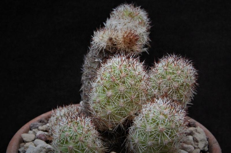 Mammillaria sphacelata 9953-210