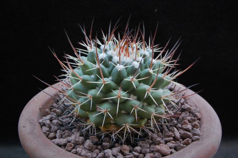 Mammillaria wagneriana 9958-210