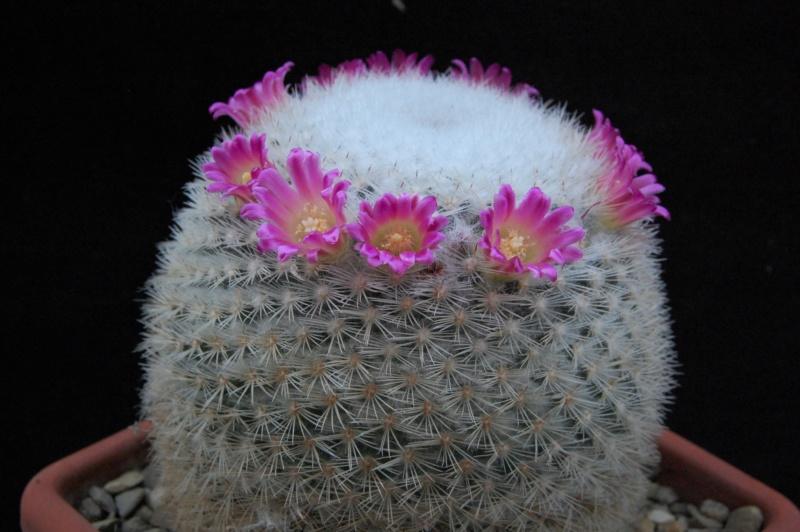 Mammillaria albilanata 9964-211