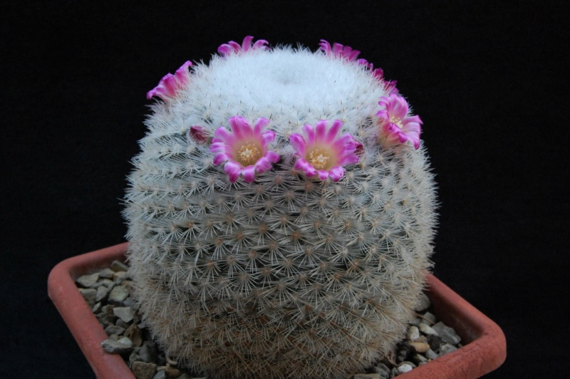 Mammillaria albilanata 9964-212