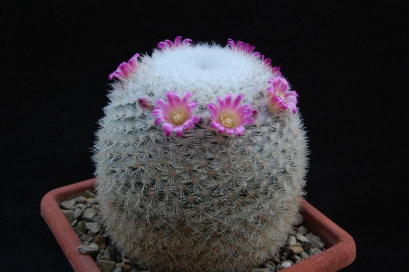Mammillaria kunthii 9964-214