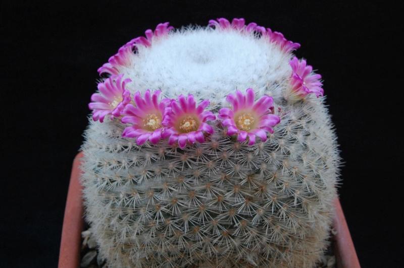 Mammillaria kunthii 9964-215