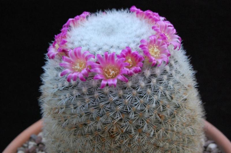 Mammillaria kunthii 9964-216