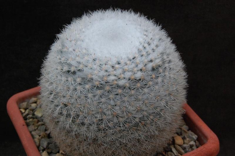 Mammillaria kunthii 9964-217