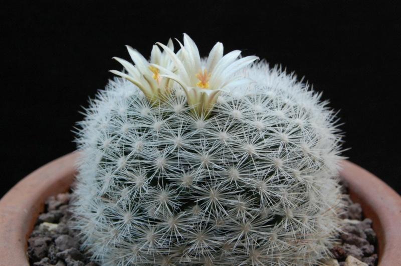 Mammillaria candida 9987-212