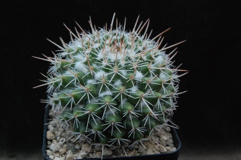 Mammillaria centricirrha 9990-211