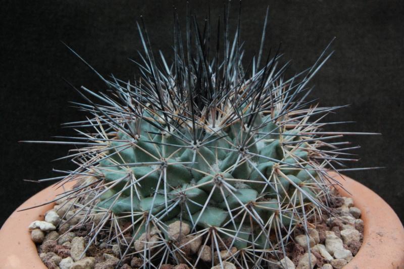 Mammillaria melanocentra 9992-211