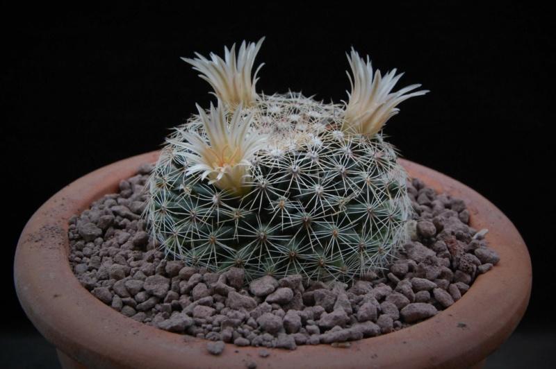 Mammillaria heyderi - Page 2 9995-212