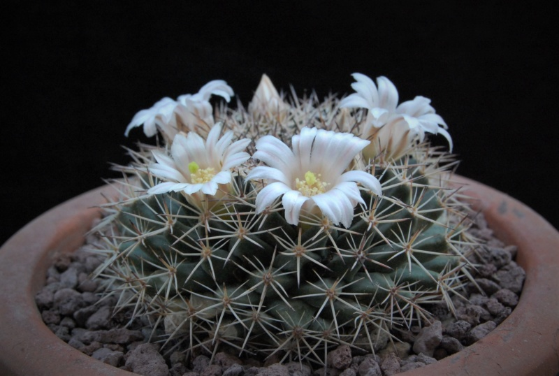 Mammillaria heyderi - Page 2 9996-212
