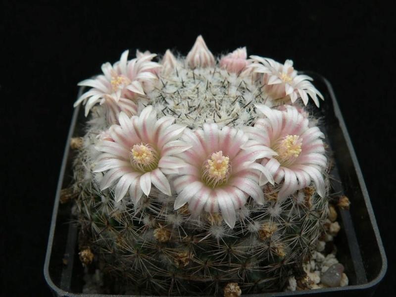 Mammillaria arroyensis       Arroye12