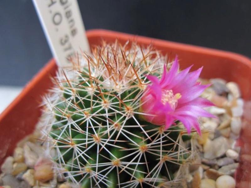 Mammillaria backebergiana Backeb10