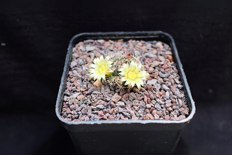 Mammillaria brandegeei Brande11