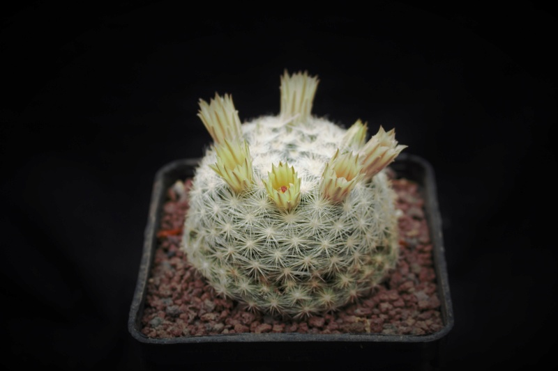 Mammillaria candida Candid12
