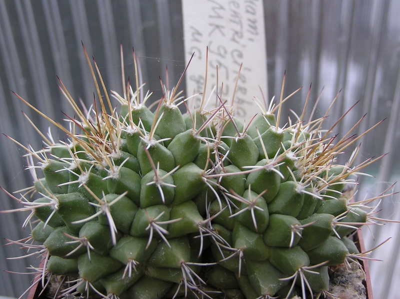Mammillaria centricirrha Centri10
