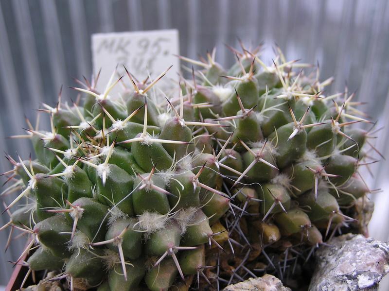 Mammillaria centricirrha Centri11