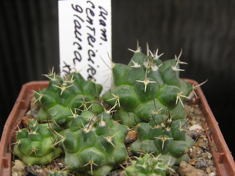 Mammillaria centricirrha Centri12