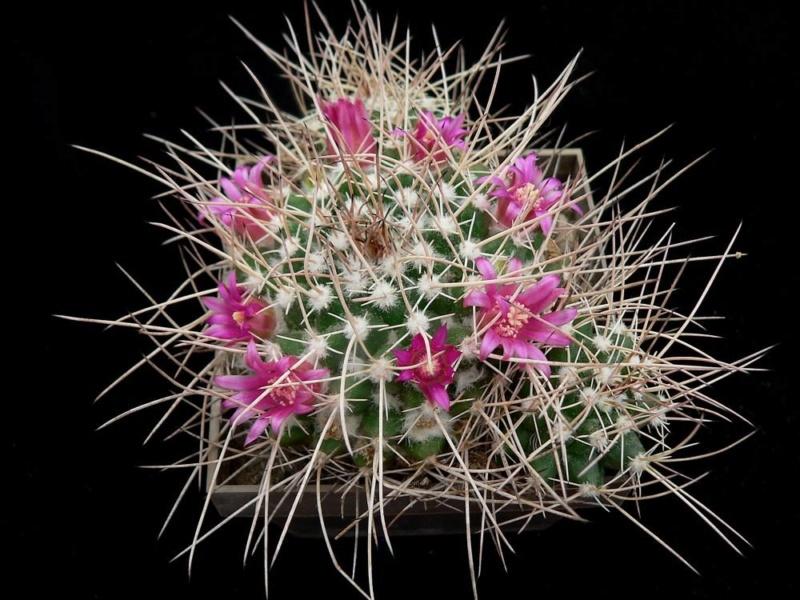 Mammillaria centricirrha Centri13