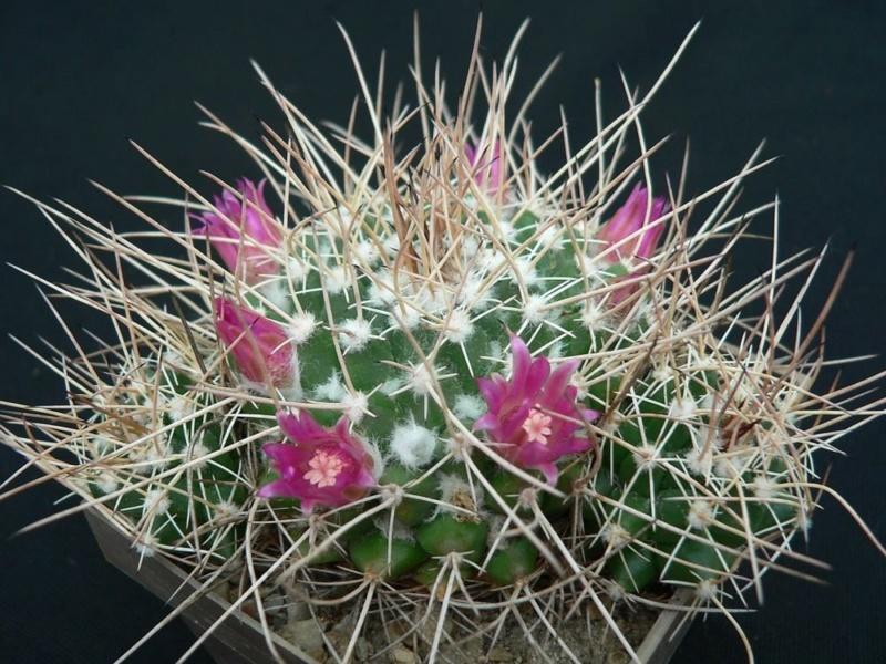 Mammillaria centricirrha Centri14