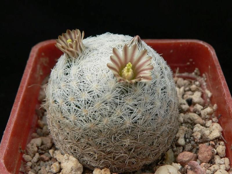 Mammillaria chica Chica_10
