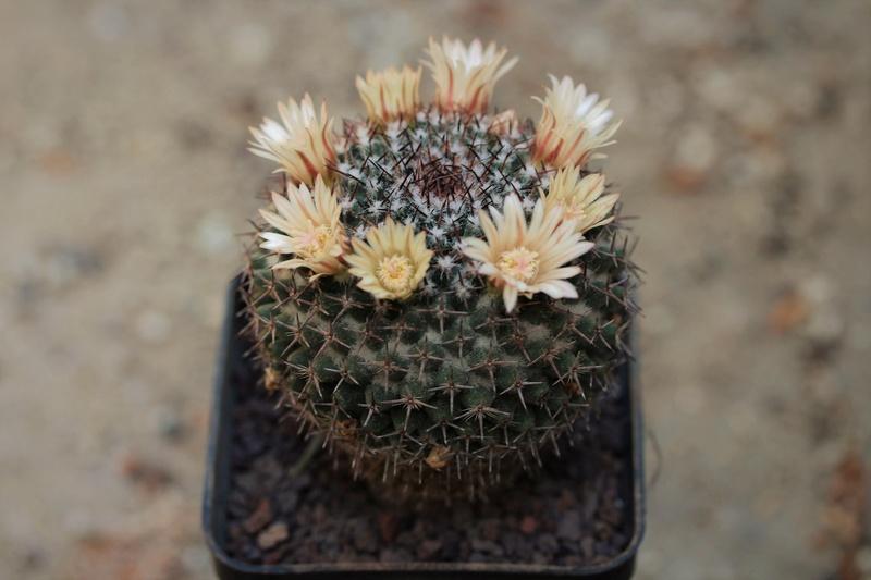 Mammillaria chionocephala Chiono10