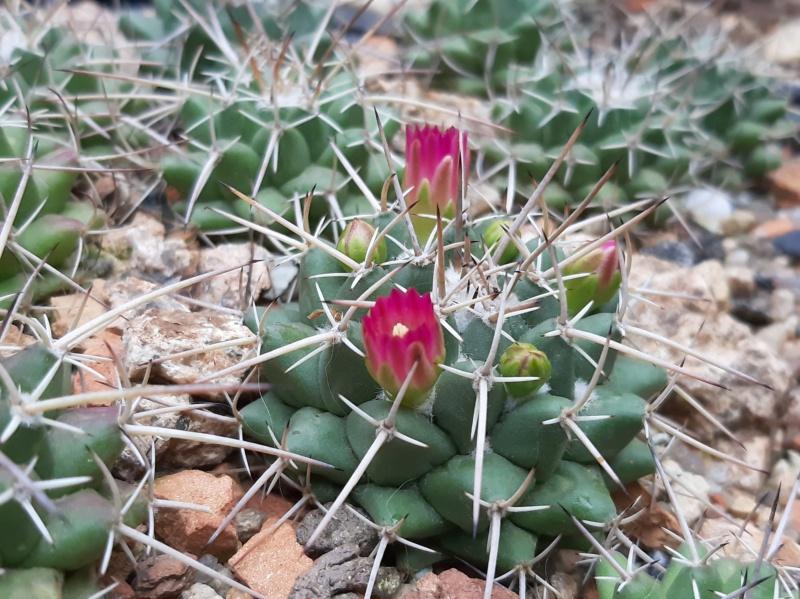 Mammillaria compressa Compre12