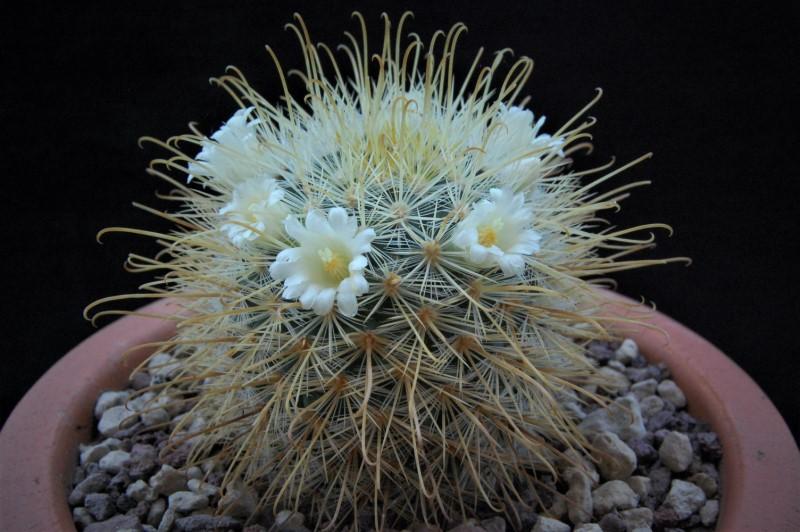 Mammillaria cowperae Cowper10