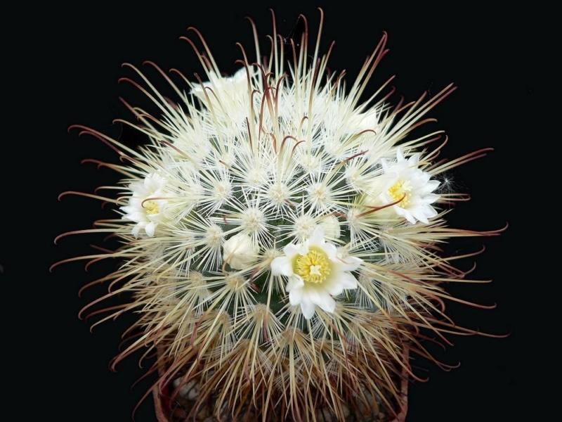 Mammillaria cowperae Cowper11
