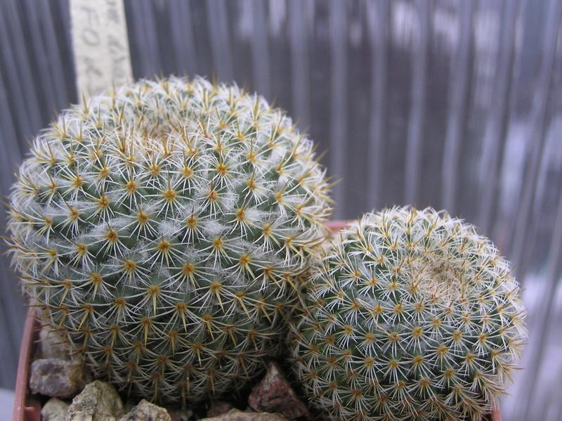 Mammillaria dixanthocentron Dixant11