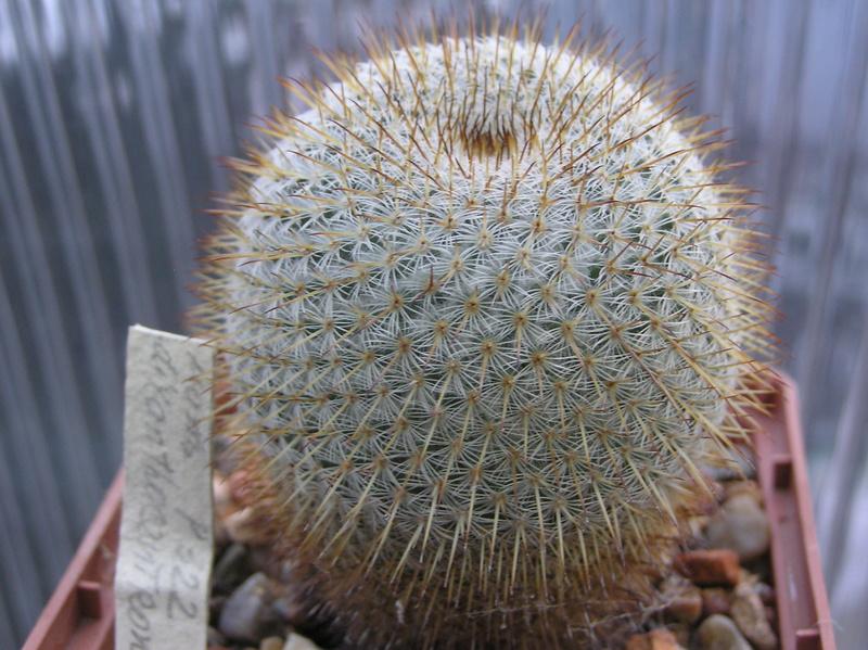 Mammillaria dixanthocentron Dixant13