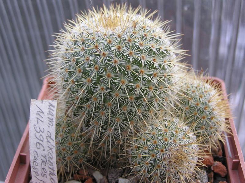 Mammillaria dixanthocentron Dixant14
