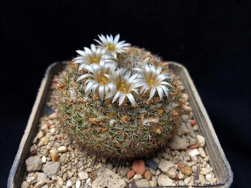 Mammillaria formosa Formos10