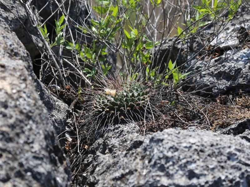 Mammillaria linaresensis Img_0411