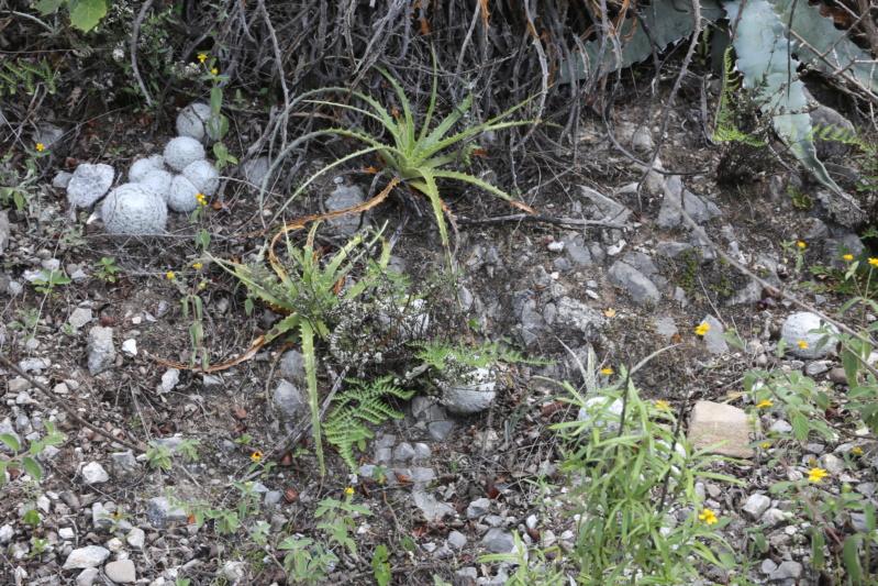 Mammillaria humboldtii Img_1717