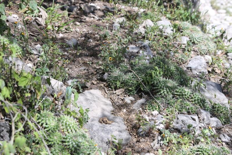 Mammillaria seitziana Img_1721