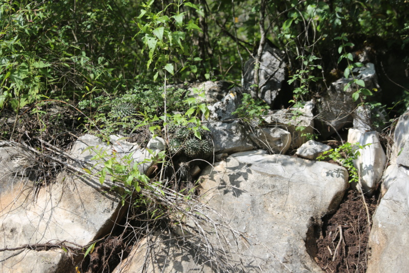 Mammillaria priessnitzii Img_1815