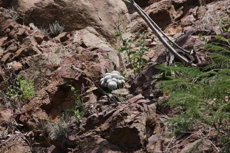 Mammillaria albata Img_1915