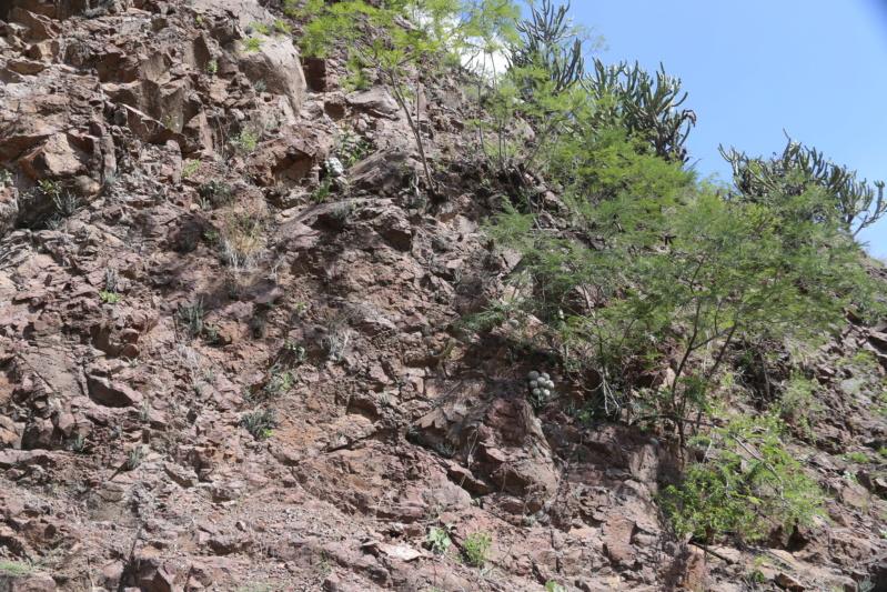 Mammillaria albata Img_1916
