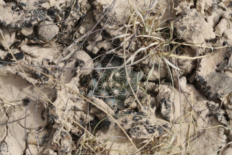 Mammillaria coahuilensis Img_2214