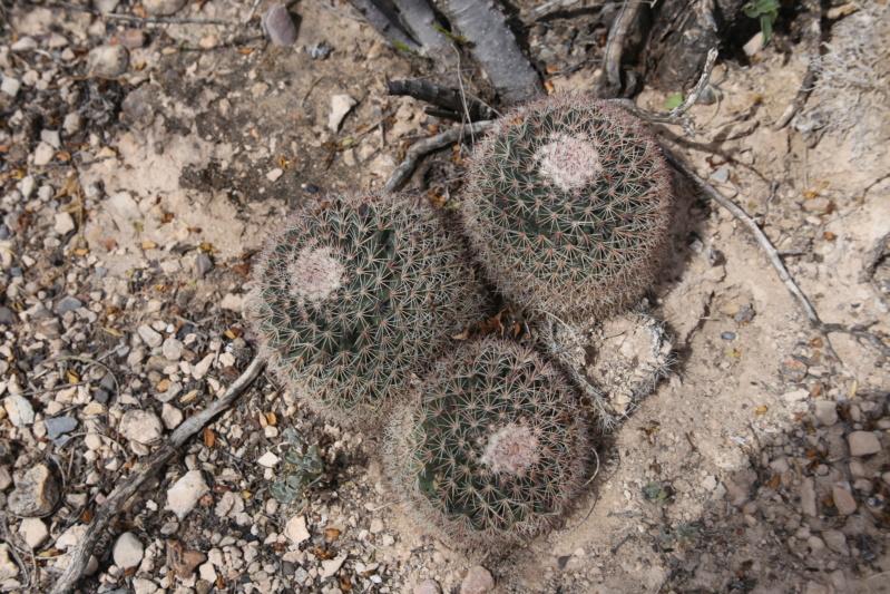 Mammillaria heyderi Img_2216