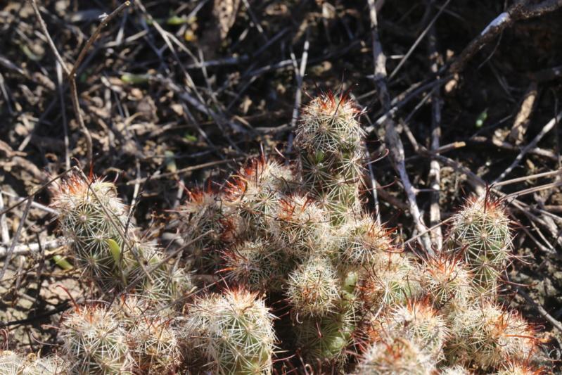 Mammillaria thornberi Img_2514