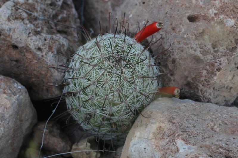 Mammillaria swinglei Img_2525