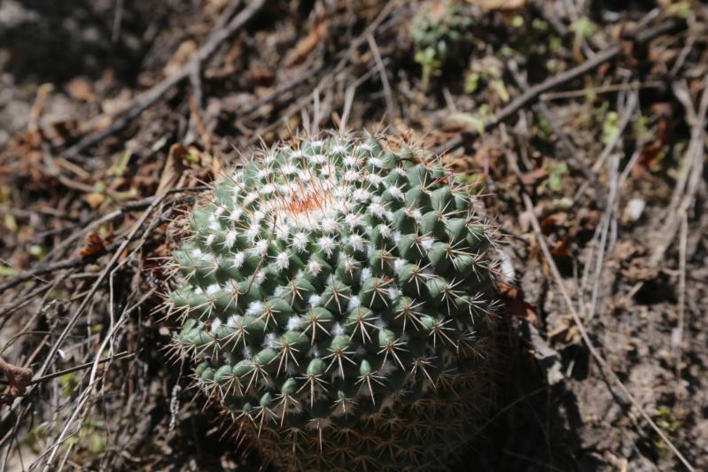 Mammillaria apozolensis    Img_2911