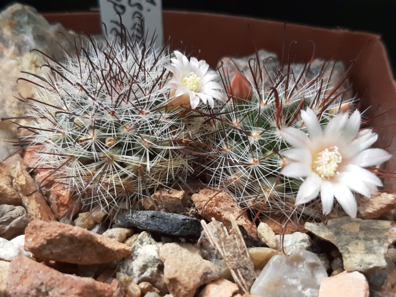 Mammillaria jaliscana Jalisc15